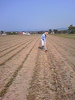 ハトムギの土寄せ